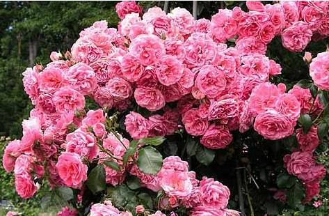 Popínavé růže prodej