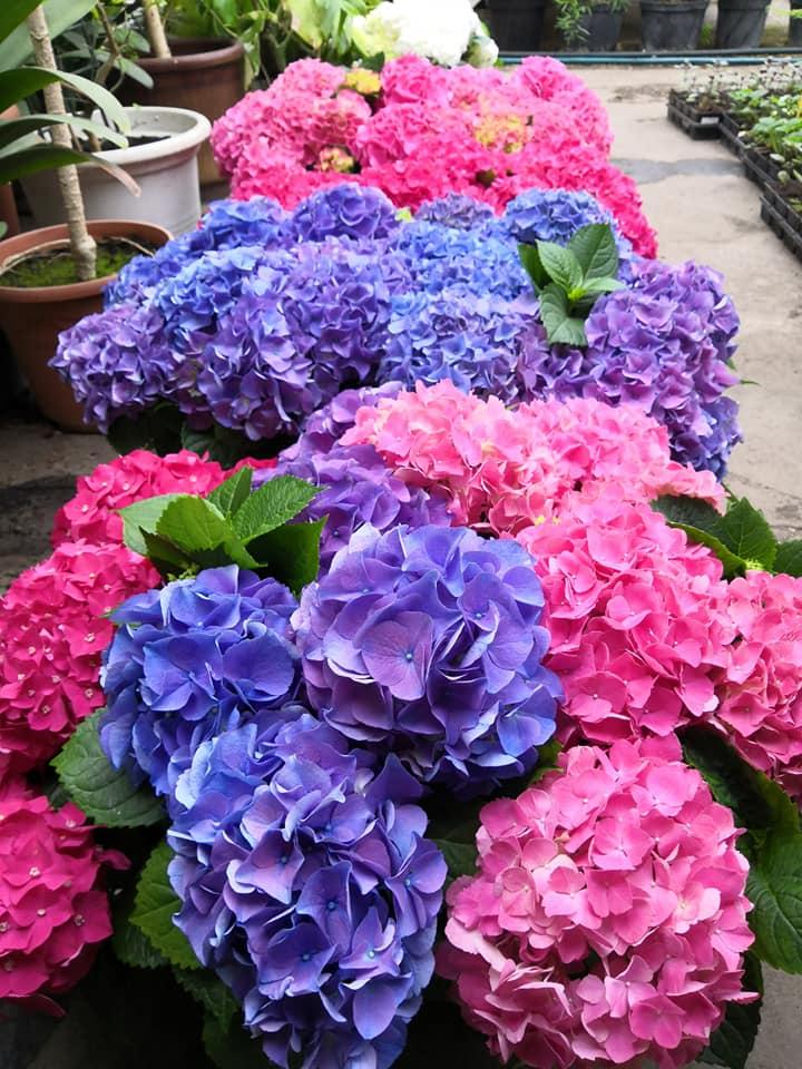 Kvetoucí hortenzie | Zahradnictví Kývala